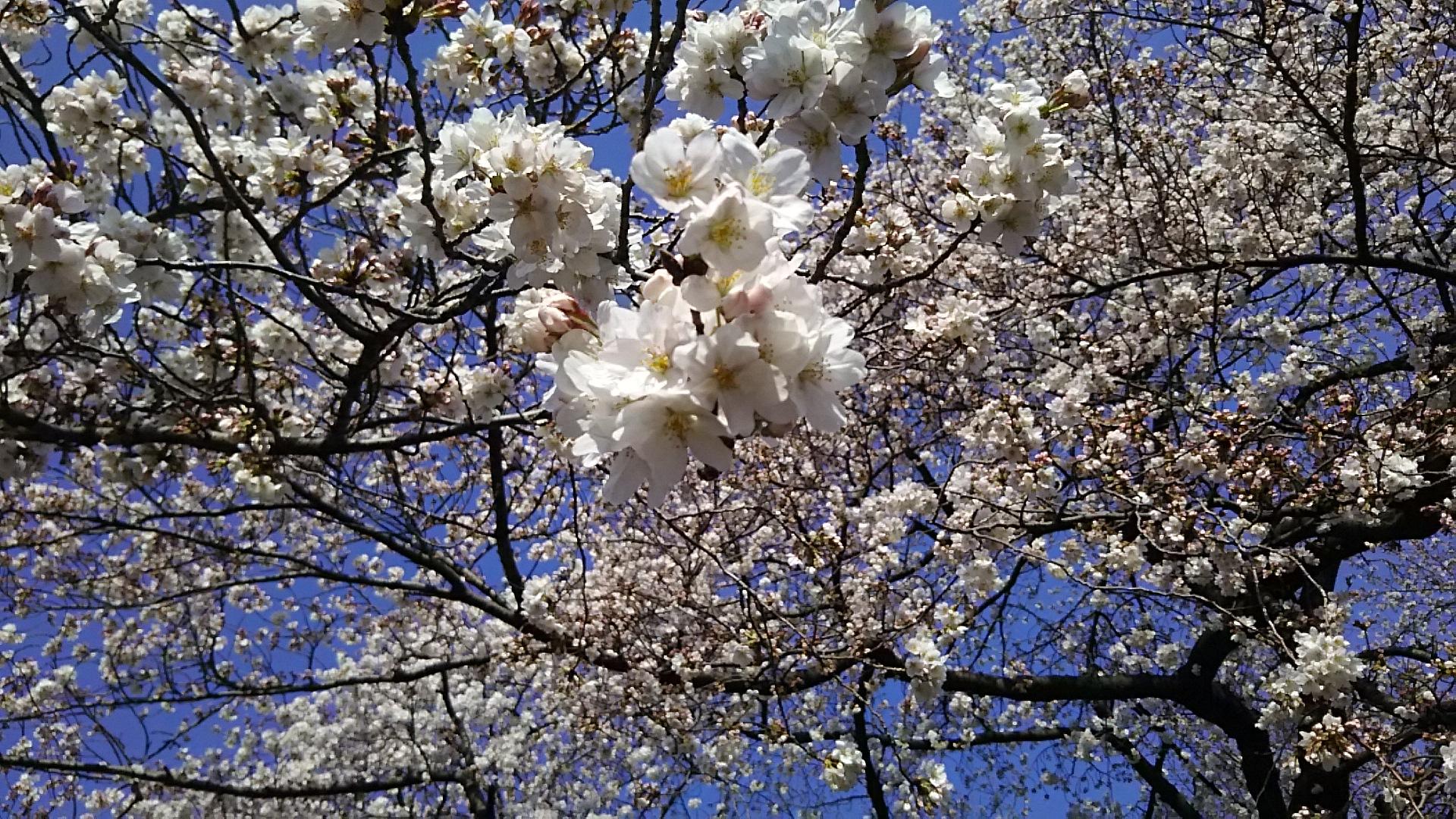 春はお花見で開運!